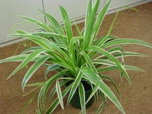 chlorophytum empoté