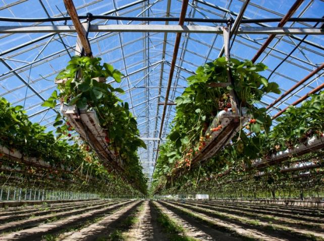 Une culture de fraises hydroponique